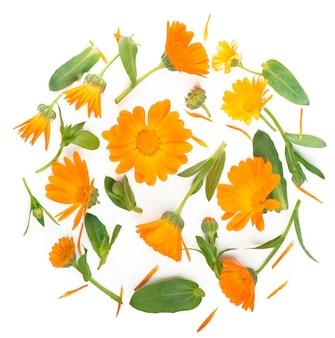 Calendula. fleur de souci isolé sur blanc isolé avec espace de copie pour votre texte. vue de dessus