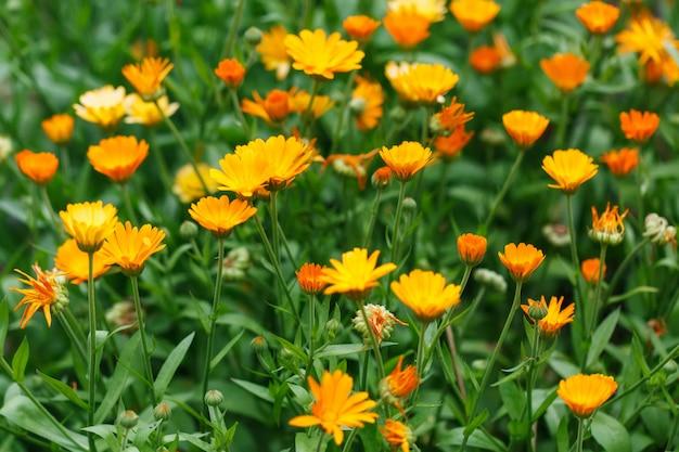 Calendula fleurs en croissance, souci