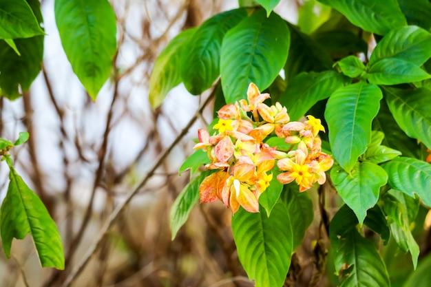 Le calice s'est développé en cinq lobes d'orange rose jaune