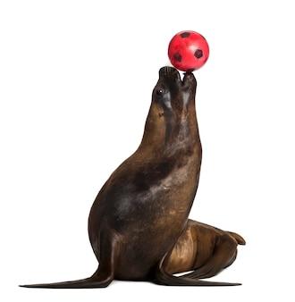 California sea lion, 17 ans, jouant avec ballon contre l'espace blanc