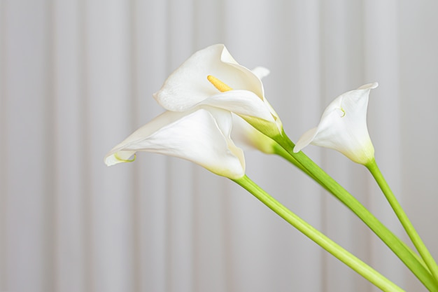 Calla lily plante fleurs sur fond de tissu blanc.