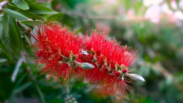 Callistemon rouge
