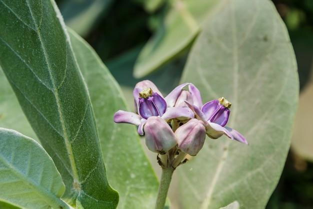 Calotropis fleur blanche et violette colorée (fleur couronne)