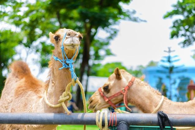 Camel's visage souriant
