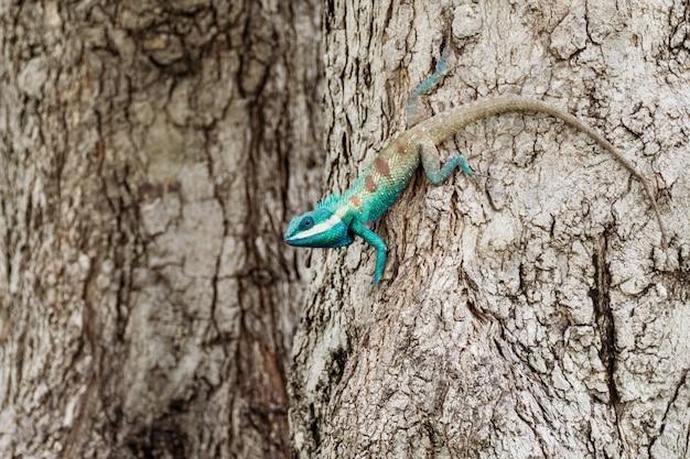 Caméléon bleu en zone tropicale sur l'arbre