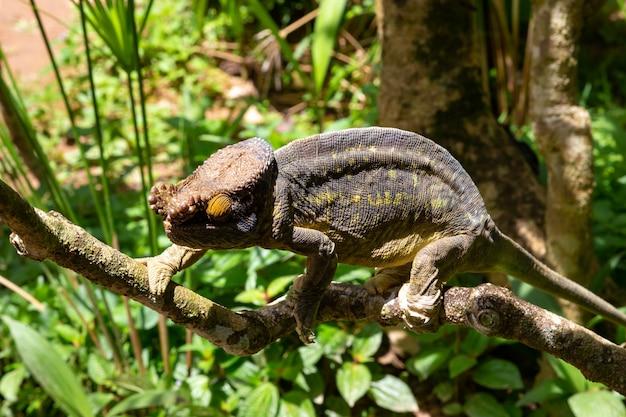 Caméléon coloré sur une branche dans un parc national sur l'île de madagascar