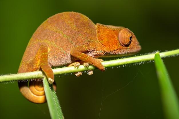 Caméléon coloré en gros plan dans la forêt tropicale à madagascar.
