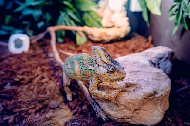 Caméléon essayant de grimper sur un morceau de roche sur des feuilles sèches brunes