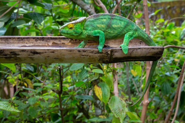 Un caméléon en gros plan dans un parc national à madagascar