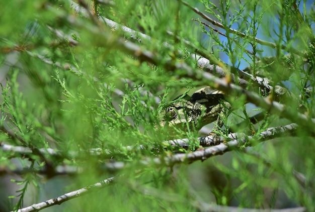 Un caméléon méditerranéen adulte marchant parmi les branches de tamaris d'afrique et les fleurs du cap sorrel