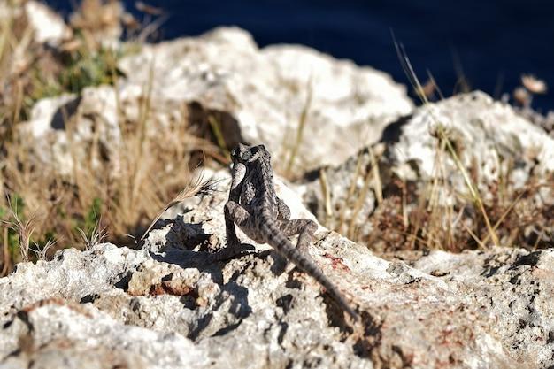 Caméléon méditerranéen parmi la végétation de garigue sur une falaise