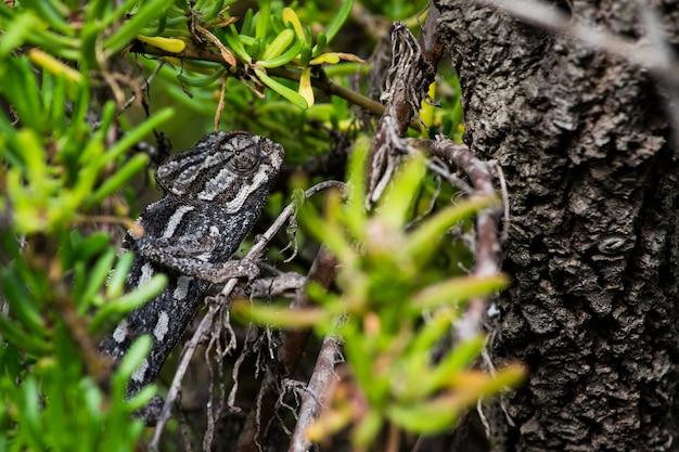 Un caméléon méditerranéen se cachant en camouflage parmi les plantes succulentes de la campagne maltaise.