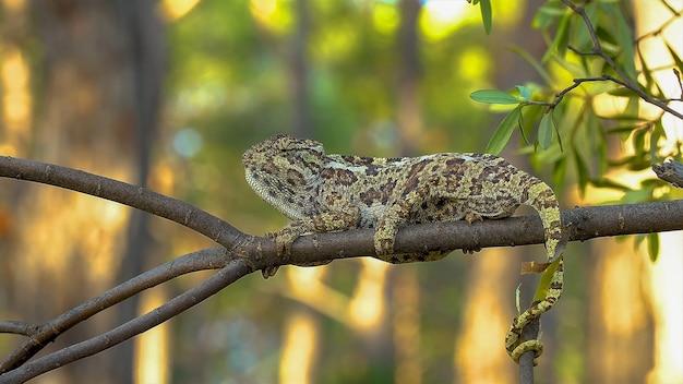 Caméléon vert sur une branche