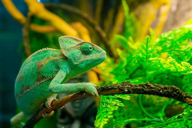Caméléon vert dans le terrarium. animal de compagnie exotique.