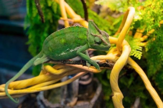 Le caméléon vert est assis sur une branche à proximité. reptile d'animaux sauvages.