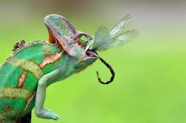 Caméléon voilé attraper insectes des animaux gros plan
