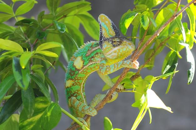 Caméléon voilé entre les feuilles en camouflage