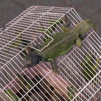 Caméléons dans une cage, rahba kedima, souk, marrakech, maroc