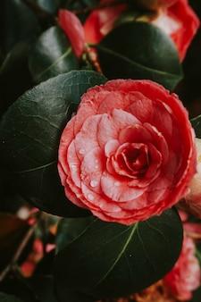 Camélia japonais en fleurs à l'état sauvage