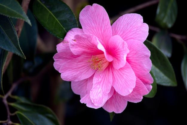 Camélia rose en pleine floraison au printemps