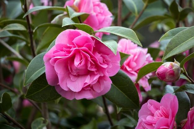 Camélia rose en pleine floraison à east grinstead