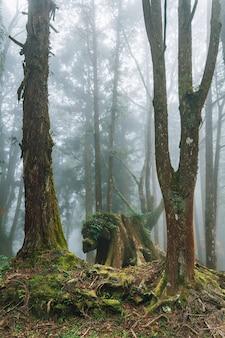 Camion d'arbre baissier avec des cèdres du japon dans la forêt avec du brouillard à alishan.