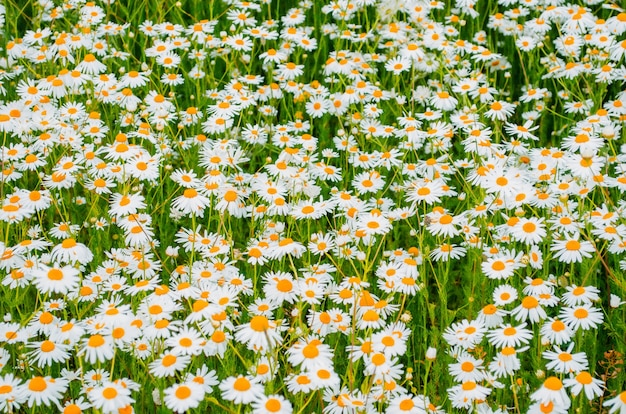 Camomile oxeye daisy meadow background.