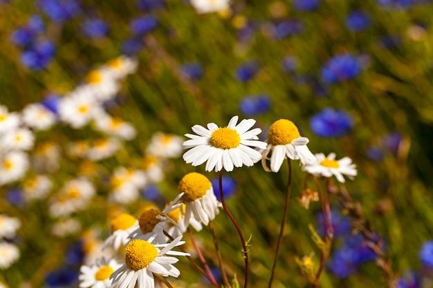 Camomiles - les fleurs d'une camomille blanche représentée par un gros plan