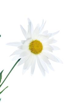Camomille blanche isolée sur blanc