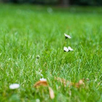 Camomille blanche petites fleurs sauvages sur un fond d'herbe verte.