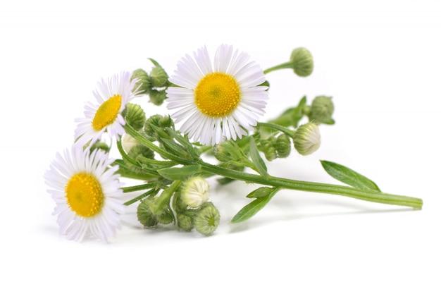 Camomille fleur