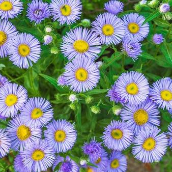 Camomille de fleurs décoratives lilas et feuilles vertes gros plan floral fond festif pour fleuriste avec espace copie pour le texte