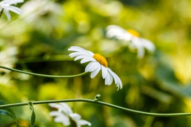 Camomille en fleurs sur un pré en été