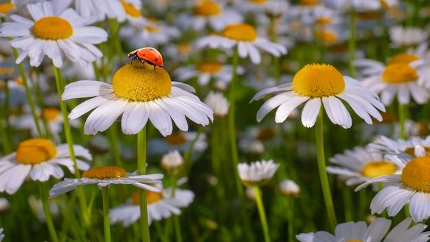 Camomille sur le terrain en été sur la nature