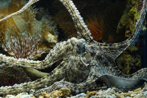 Un camouflage de calmar derrière le corail