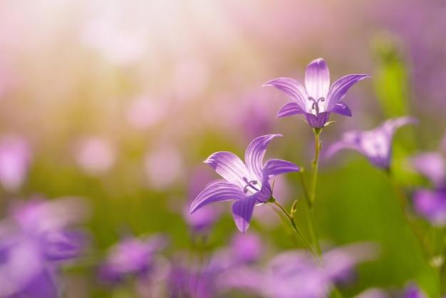 Campanule en gros plan, soleil dans le coin, espace de copie. fond de fleurs avec des fleurs de campanule violettes.