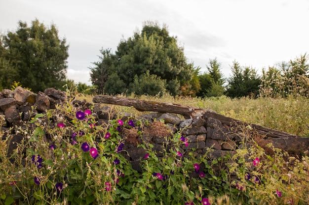 Campanules à côté du mur de pierres sèches
