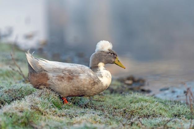 Canard blanc sur la ferme des animaux d'herbe verte humide sur la rive du fleuve