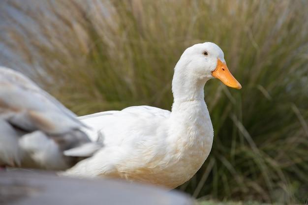 Canard blanc sur l'herbe verte pendant la journée