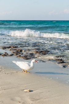 Canard blanc sur une plage de sable avec une mer turquoise sous le soleil. beau paysage.