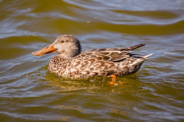 Canard brun sur l'eau pendant la journée