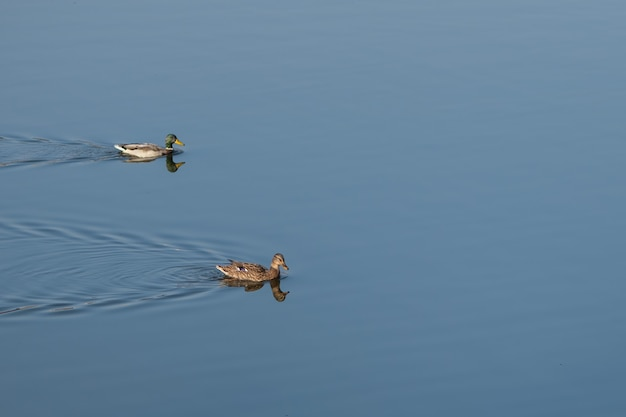 Canard brun nage sur l'eau bleue du lac
