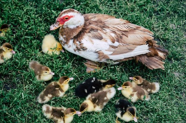 Canard et canetons courant autour du troupeau d'herbe verte.