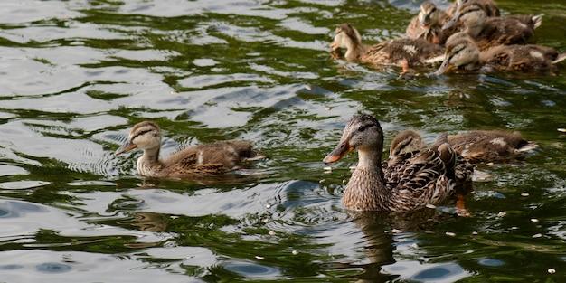 Canard colvert (anas platyrhynchos) dans un lac, lac des bois, ontario, canada