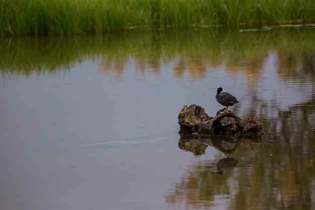 Canard colvert au printemps dans la réserve naturelle des aiguamolls de l'emporda, espagne.
