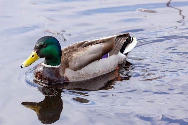 Le canard colvert gracieux nage dans l'eau avec des ondulations.