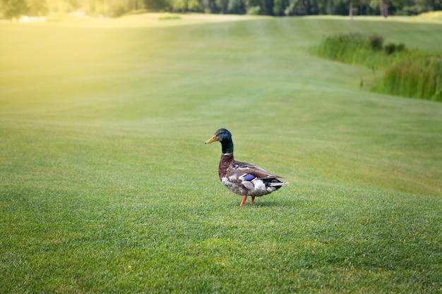Canard colvert mâle marchant sur l'herbe verte fraîche au jour ensoleillé
