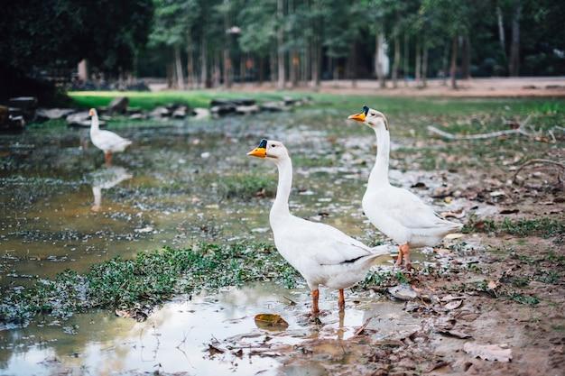 Canard dans la boue