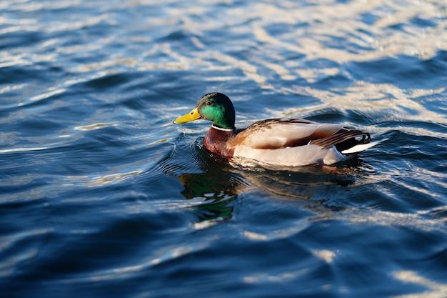 Canard dans l'eau bleue