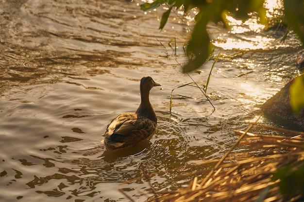 Canard dans l'eau sous les rayons du soleil couchant.